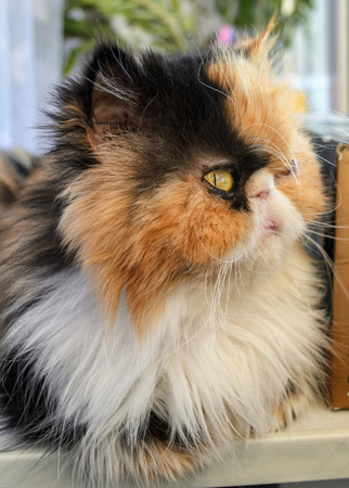Three-colored cat of the Persian breed at a window. Indoors. Strong contrast. Saturated color. Vertical format. Without people. Photo.