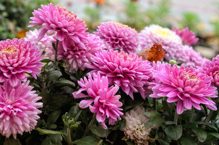 Chrysanthemum flowers in the open air. Petals of violet color. Horizontal format. Outdoors. Color. Photo.