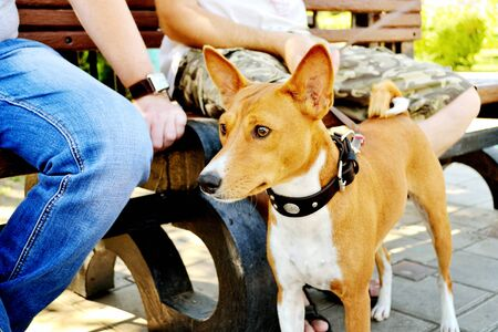 Dog of breed of the Basenji near legs of the person in the summer afternoon in the city park. Outdoors. Summer day. Horizontal format. Color. Photo.