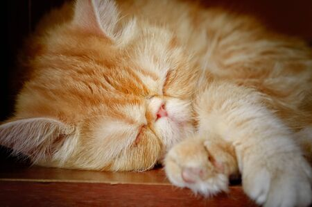 Portrait of a charming kitty of extreme breed who sleeps. An animal color - red with white burn marks. Indoors. Horizontal format. Color. Photo.