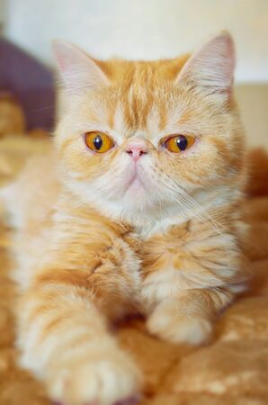 Portrait of a kitty of exotic breed on a bed in the room. Indoors. Vertical format. Color. Stock photo. 스톡 콘텐츠 - 132069069