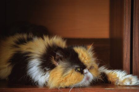 Portrait of a three-colored Persian cat in a case.Horizontal format. Low contrast. Indoors. Color. Photo.