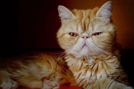 Portrait of a young cat of exotic breed against a dark background indoors. Indoors. An animal color - red with white burn marks. Horizontal format. Color. Stock photo.