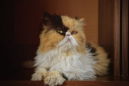 The adult three-colored Persian cat sits in a case. Horizontal format. Low contrast. Indoors. Color. Photo.