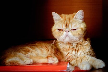 The charming kitty of exotic breed quietly sits. In the room. An animal color - red. Horizontal format. Color. Stock photo.
