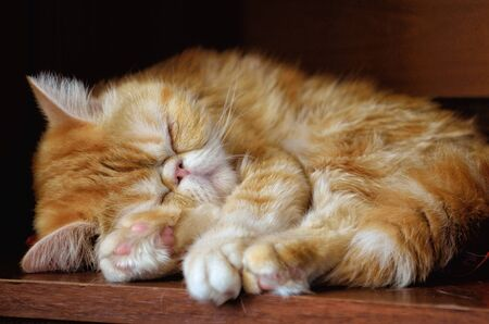 The charming kitty of exotic breed sleeps indoors against a dark background. An animal color - red with white burn marks. Indoors. Horizontal format. Color. Stock photo.