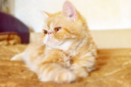 The young kitty of exotic breed lies on a bed in the light room. Portrait. Blur of a background. Indoors. Horizontal format. Color. Stock photo. 스톡 콘텐츠 - 132070178