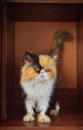 Three-colored Persian cat in a case niche.Horizontal format. Low contrast. Indoors. Color. Photo.