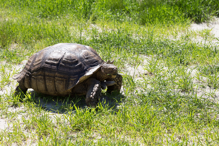 Large land tortoise.Giant tortoise on the grass 写真素材