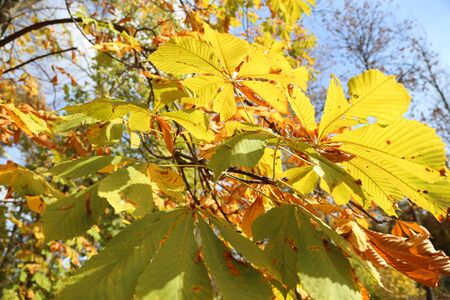 Yellow leaves, sunny day and blue sky 版權商用圖片