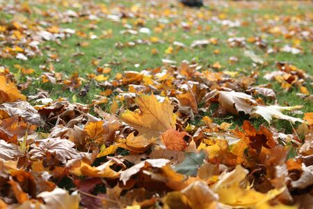 Yellow autumn leaves on the green grass