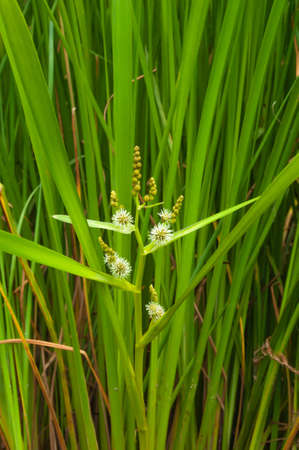 wetland conservation: Green blossoming river reeds close-up placed in the background in the same reeds