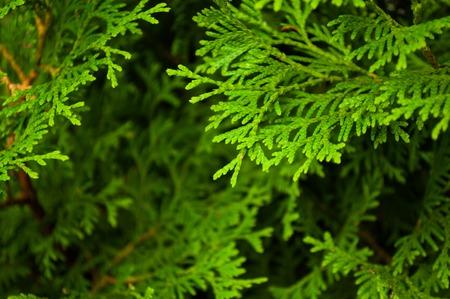 arborvitae: arborvitae branches close-up
