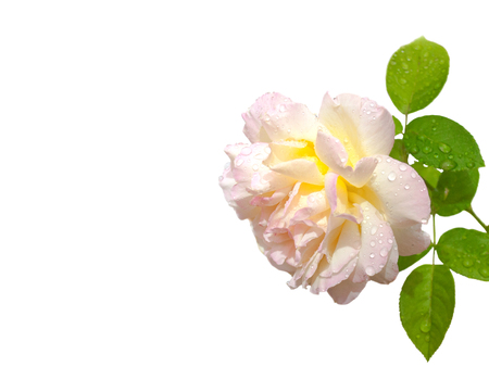 hints: yellow rose with hints of pink and green leaves on a white background