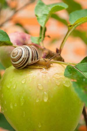 apple snail: snail on a green apple