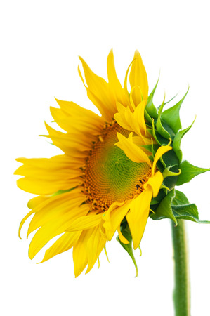 Bright colorful yellow flower of a sunflower on a white background close-up