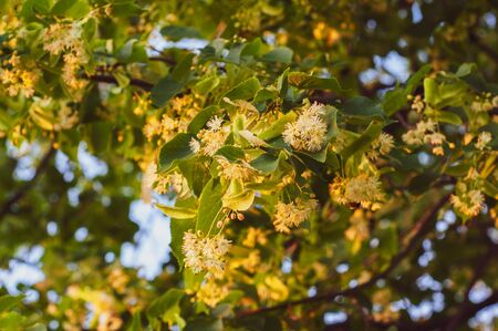 flowering linden tree with beautiful yellow flowers close-up against a blue sky Foto de archivo