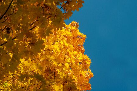 Yellowed leaves on tree. Horizontal background. Plants outdoors. Autumn background with golden yellow foliage. Bright autumn time...Colorful time year. Yellow-orange leaves maple against blue sky. 免版税图像