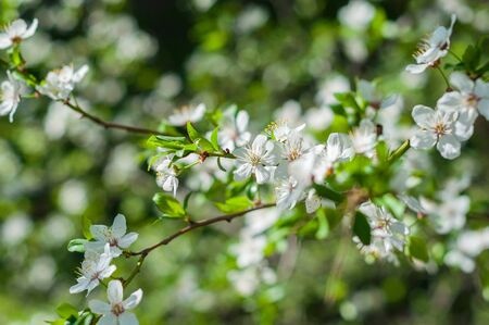 Closeup branch with blooming white flowers and young green leaves against a background of blurred white flowers, blooming cherry tree Stock Photo