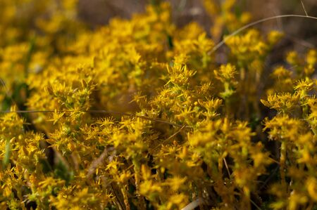 Yellow flowering moss Sedum Sexangulare Plants mats ornamental flowering moss ground cover plants Zdjęcie Seryjne - 133762710