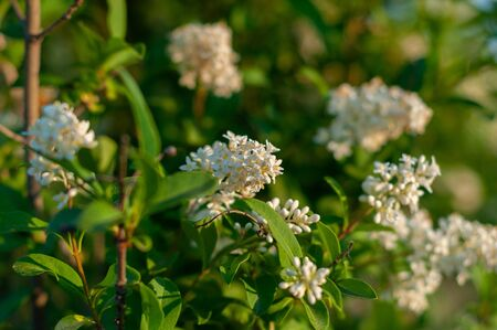 branches with clusters of white lilac flowers growing on a green bush