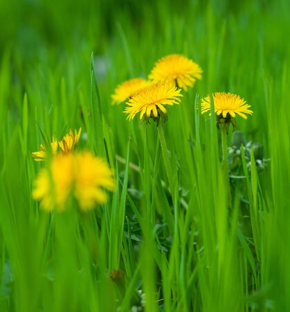 Yellow dandelion flowers in bright green grass close-up
