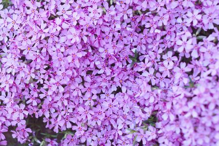 many small purple flowers buddleia with a close-up on a flowerbed