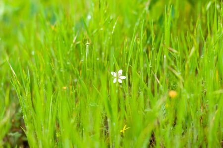 Background of green, fresh, young, field grass with droplets of morning dew