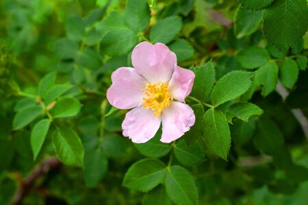 big pink rosehip flower growing on a bush with green leaves