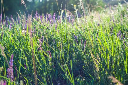 background of various green plants and tall wildflowers of purple color on the lawn flooded with sunlight Stock fotó