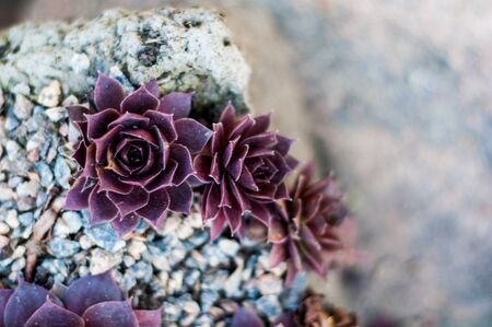 Background of growing beautiful succulents of echeveria languidly red color on stony soil