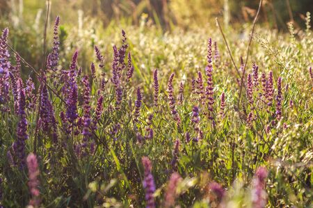 background of various green plants and tall wildflowers of purple color on the lawn flooded with sunlight Reklamní fotografie