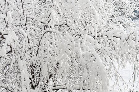 Fluffy white flakes of snow on branches of tree. Beautiful winter landscape. Sunny frosty morning. Snow covered trees in winter park. Picturesque nature in cold season. Horizontal photo. Close-up.