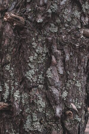 Old gray bark forest tree. Outdoors. Close-up. Tree bark overgrown with pale green lichen. Vertical background for banner ads.