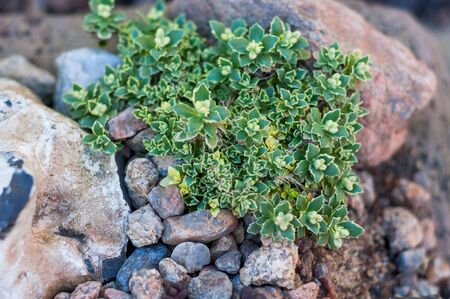 green shrub with delicate small green yellow leaves growing among the stones