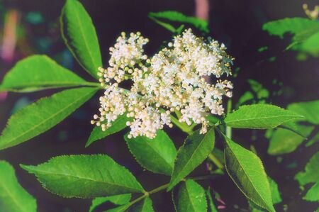 Blooming beautiful small white flowers of elderberry and green leaves