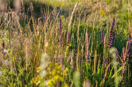 background various green plants and tall wildflowers purple color on lawn flooded with sunlight Reklamní fotografie