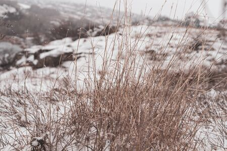 Large bush of dry grass under white clear snow. Close-up. Plants in winter after first snowfall. On snowy hill. Dense thickets of grass peek out from under snow. Horizontal photo. Blurred background. Reklamní fotografie