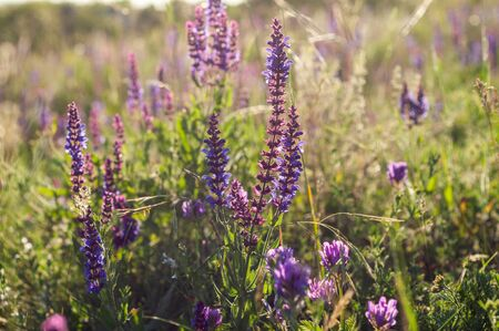 a lot of purple bells among the grass and wild flowers against the background of field grass and sky