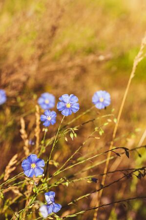 Beautiful blue flowers with a yellow center on the background of field plants Reklamní fotografie