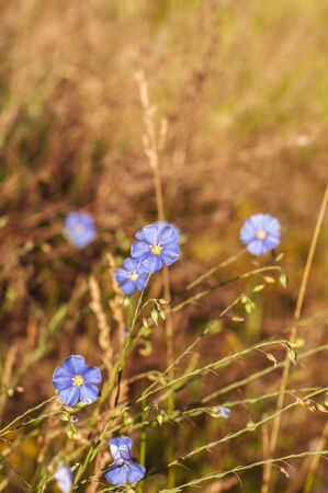 Beautiful blue flowers with a yellow center on the background of yellowed field grass
