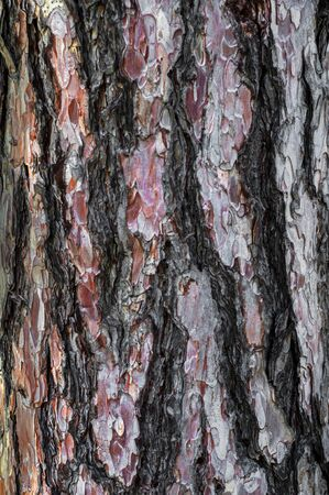 Colorful pine bark of brownish red color. Outdoors. Old pine tree trunk. Close-up background with reddish-brown wood surface texture. Zdjęcie Seryjne