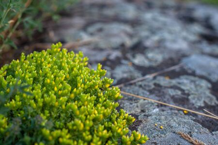 Unblown yellow blooming moss Sedum Sexangulare on a background of granite stone