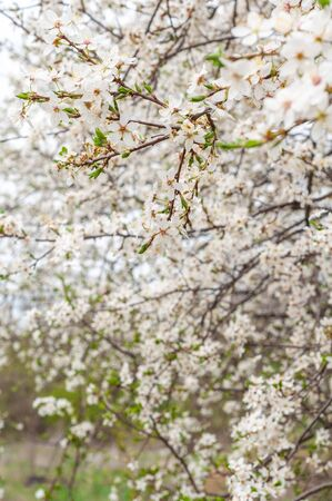 Blooming sweet cherry tree, with blooming white flowers and young green leaves