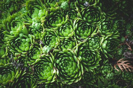 background of young green plants of succulents. Rejuvenated Sempervivum also known as the Stone Rose.