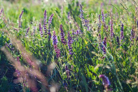 Purple clover flowers growing among meadow grass