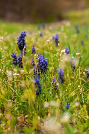 many blue grape hyacinth among grass and wildflowers