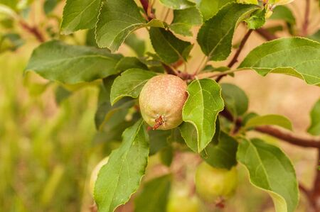 green walnut growing on a tree with green leaves