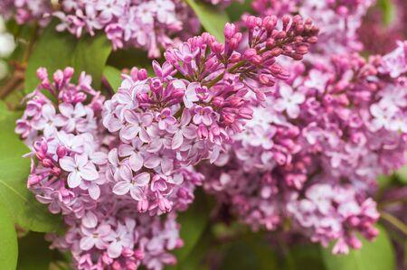 macro photo of many lilac buds and leaves Reklamní fotografie
