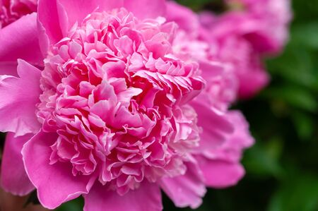 Bright pink blooming peonies on the background of grass and green leaves